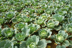 The Cabbage Field Stock Photo