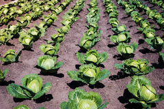 Cabbage field Stock Image