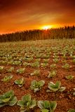 Cabbage field in sunset mood Stock Photos