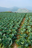 Cabbage field in thailand Stock Images