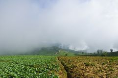 Cabbage field to the mountain Stock Images
