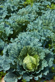Cabbage field with vegetable detail Stock Photo
