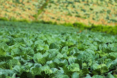 Cabbage field Royalty Free Stock Images
