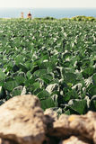 Cabbage fields in bright sunlight on the outskirts of Bahrija an Royalty Free Stock Photo