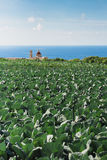 Cabbage fields in bright sunlight on the outskirts of Bahrija an. D Mtahleb, Malta. Bright sunlight and clear blue skies with some puffy clouds royalty free stock image