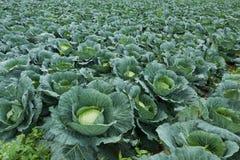 Cabbage fields Stock Photos