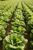 Cabbage Fields In Spain Stock Images