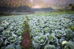 Cabbage fields on the mountain Royalty Free Stock Image