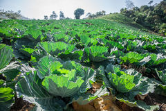 Cabbage fields. Raw Cabbage on fields in Thailand Stock Photo