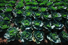 Cabbage fields. Raw Cabbage on fields in Thailand Stock Image