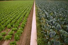Cabbage fields, rows of vegetable food Royalty Free Stock Images