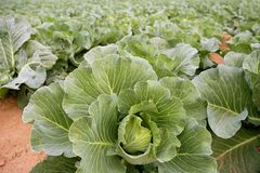 Cabbage fields, rows of vegetable food Stock Images