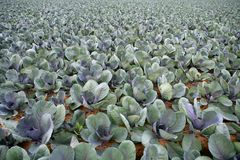 Cabbage fields, rows of vegetable food Stock Photography