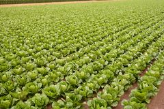 Cabbage fields, rows of vegetable food Royalty Free Stock Photography