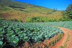 Cabbage fields. In thailand farm Stock Photo