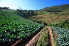 Cabbage fields. In thailand farm Stock Images