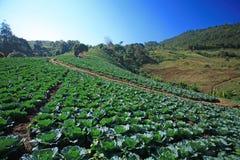 Cabbage fields. In thailand farm Stock Photos