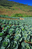 Cabbage fields. In thailand farm Royalty Free Stock Photos