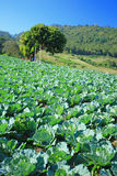 Cabbage fields. In thailand farm Stock Image