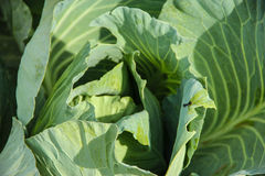 Cabbage. Flavorful big green cabbage , nice shape and leaves royalty free stock photography