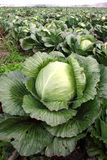 Cabbage on a floor. Cabbage on a farmer floor Royalty Free Stock Image