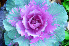 Cabbage flower Stock Photo