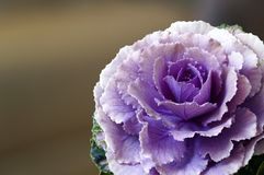 Cabbage Flower With Purple Petals royalty free stock photography