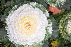 Cabbage flower Stock Image