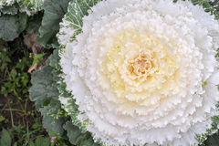 Cabbage flower Stock Photography
