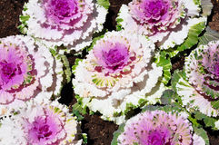 Cabbage flowers. The beautiful of cabbage flowers growing Stock Photography