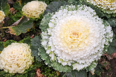 Cabbage flowers Royalty Free Stock Photo
