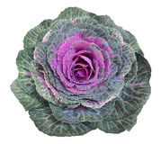 Cabbage flowers Stock Photography