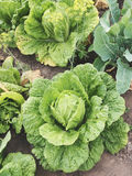 Cabbage. Forks young cabbage on a bed garden plots Royalty Free Stock Images