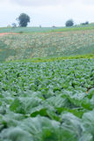 Cabbage farm. The cabbage farm at Thabberk Hill Royalty Free Stock Images
