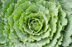 Cabbage. Fresh cabbage in the garden Stock Image