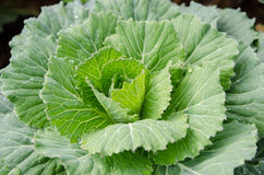 Cabbage. Fresh cabbage in the garden Royalty Free Stock Photos