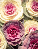 Cabbage, Fresh vegetable. Cabbage close up, Fresh vegetable Royalty Free Stock Images
