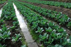 Cabbage garden Royalty Free Stock Image