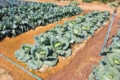 Cabbage garden. Royalty Free Stock Photo