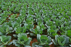 Cabbage garden. Royalty Free Stock Photos