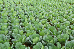 Cabbage garden. Stock Photography