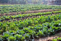 Cabbage garden. Royalty Free Stock Image