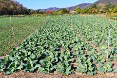 Cabbage garden. stock photos