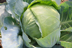 Cabbage on a garden bed. Royalty Free Stock Images
