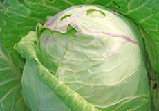 Cabbage in the garden close up as a background Stock Image