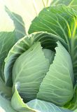 Cabbage in the garden. Cabbage in a the garden close up Stock Photography