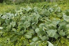 Cabbage in the garden. Fresh kitchen garden cabbage Stock Photo