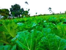 Cabbage garden. The freshes cabbage in the garden Royalty Free Stock Photography