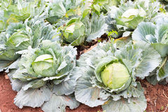 Cabbage in the garden. Freshly harvested cabbage the garden Royalty Free Stock Photos