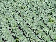Cabbage garden, Futog, Serbia. Cabbage garden in Futog, Serbia Stock Images